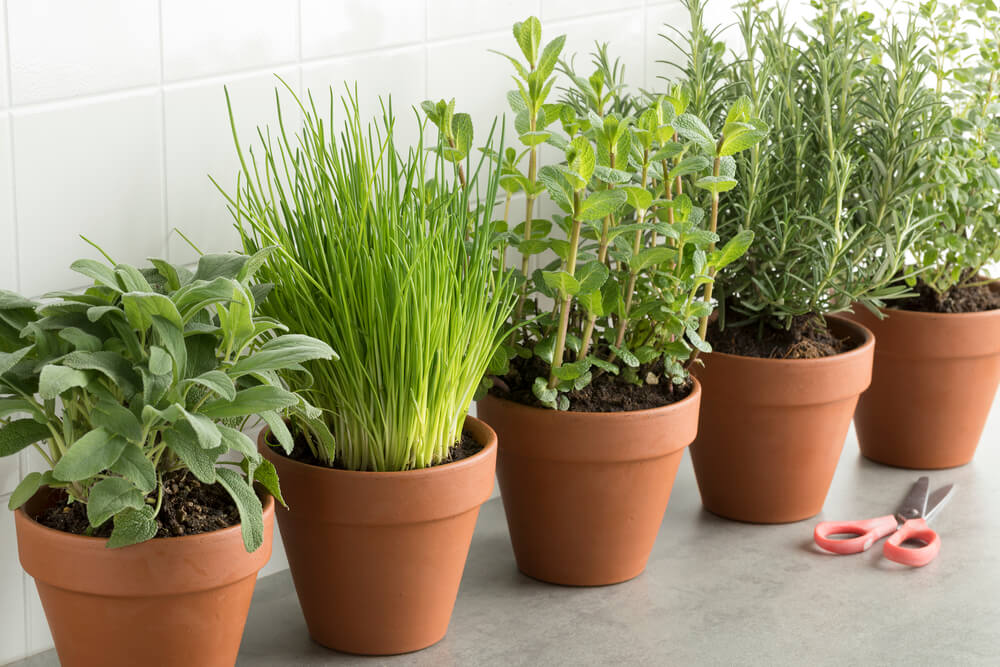 row of brown terracotta pots with fresh herbs PDJGM8R